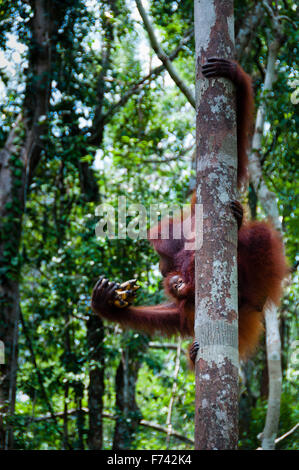 Orang Utan sitting on a tree in the jungle, Indonesia - Stock Photo