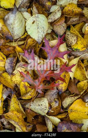 Fallen Quercus leaf on fallen Birch leaves in autumn. - Stock Photo