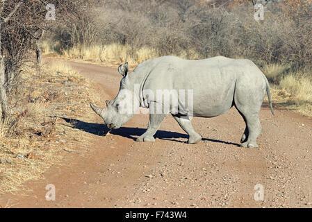 White rhinoceros (Ceratotherium simum) crossing the road in Ongava Game Reserve, Namibia - Stock Photo