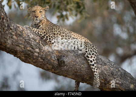 Beautiful female leopard(panthera pardus) resting in tree in afternoon sunlight in Moremi National Park (Khwai), - Stock Photo