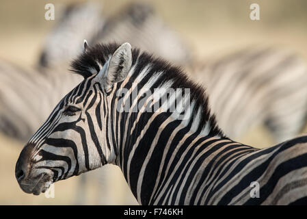 Zebra female with other zebras at background in afternoon sunlight. - Stock Photo