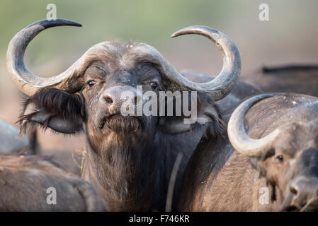 Close up of a African buffalo in Moremi NP (Bodumatau), Botswana - Stock Photo