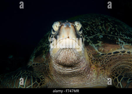 A wise old Green Turtle - Chelonia mydas - Looks at the camera lens. Taken in Komodo National Park, Indonesia. - Stock Photo