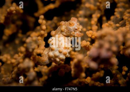 A Yellow Pygmy Seahorse - Hippocampus bargibanti - hides in its host gorgonian sea fan. Taken in Komodo National - Stock Photo