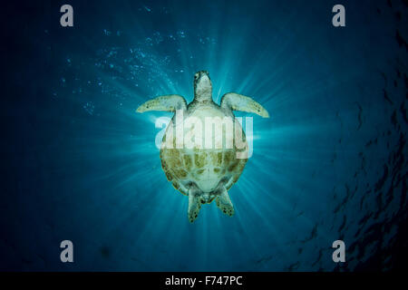 A Green Sea Turtle - Chelonia mydas - swims under the sun creating a silhouette. Taken in Komodo National Park, - Stock Photo