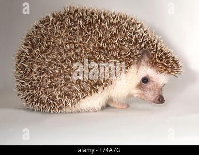 African Pygmy Hedgehog - Stock Photo