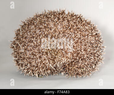 African Pygmy Hedgehog curled in ball - Stock Photo
