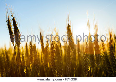 Mature wheat (Triticum spp.) growing in a field on an organic farm, La Creuse, Limousin, France - Stock Photo