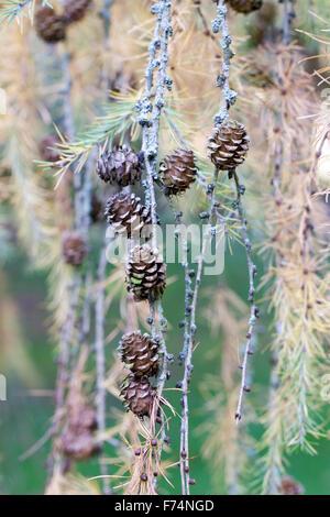Larix kaempferi Pendula cones. Japanese Larch. - Stock Photo