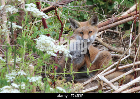 A young fox, seen near the River Tame in Birmingham, UK. - Stock Photo
