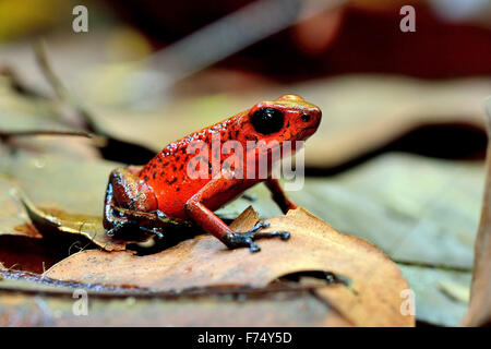 Blue Jeans Dart Frog in Costa Rica's rain forest - Stock Photo