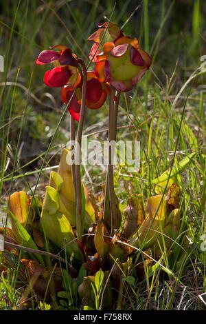 Purple pitcher plant, Northern pitcher plant, or Side-saddle flower - an insectivorous plant of bogs - Stock Photo