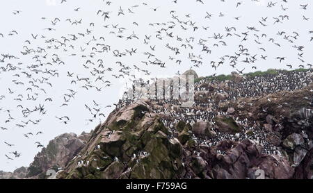 Common murres or common guillemots in flight at Witless Bay Ecological Reserve, Avalon peninsula, Newfoundland, - Stock Photo