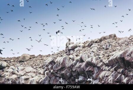 Male Bald Eagle predating guillemots at Witless Bay Ecological Reserve, Avalon peninsula, Newfoundland. - Stock Photo