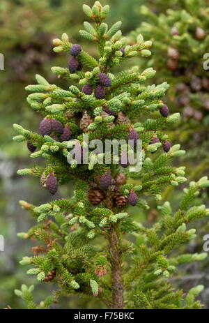 Black Spruce, with mature and immature female cones, Newfoundland. - Stock Photo