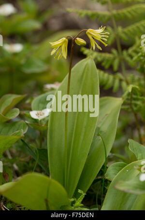 Blue-bead lily, Clintonia borealis in flower, light woodland, Newfoundland. - Stock Photo