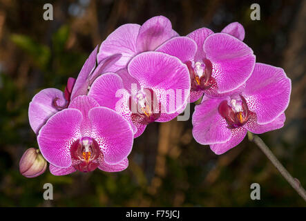 Large spray of bright magenta / purple flowers with white spotted throats of Phalaenopsis moth orchid against dark - Stock Photo