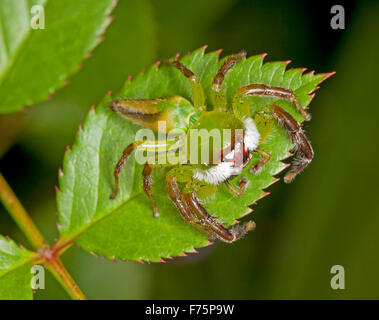 Green jumping spider, Mopsus mormon, male with white hairy face, camouflaged on leaf of rose bush against dark green - Stock Photo