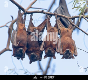 Group of grey-headed fruit bats / flying foxes, Pteropus poliocephalus, hanging in native trees against blue sky, - Stock Photo