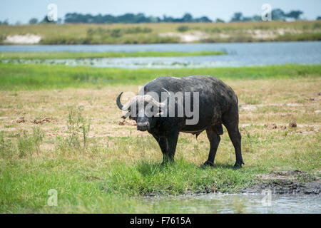 Kasane, Botswana - Chobe National Park Cape Buffalo (Syncerus caffer) - Stock Photo