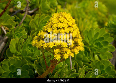 Large conical vivid yellow flower leaves of succulent aeonium large conical vivid yellow flower leaves of succulent aeonium arboreum tree houseleek an mightylinksfo