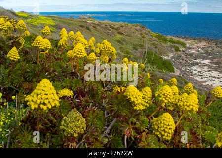 Succulent Aeonium arboreum, houseleek with mass of yellow flowers, an invasive weed species growing on coastal dunes - Stock Photo