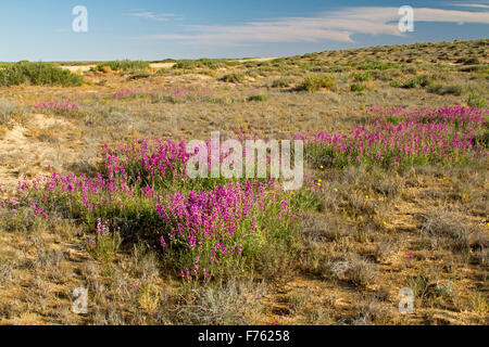 Swathes of vivid magenta / purple flowers & green leaves of Swainsona campylantha, wildflowers growing in outback - Stock Photo