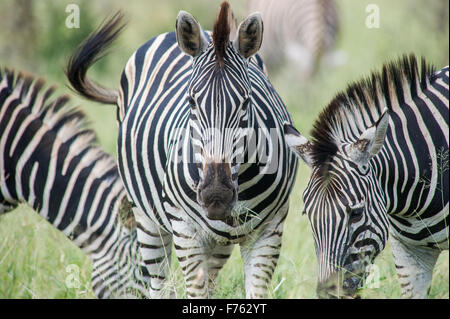 SOUTH AFRICA- Kruger National Park  Zebra (Equus burchelli) - Stock Photo