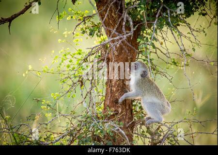 SOUTH AFRICA- Kruger National Park  Vervet Monkey (Chlorocebus pygerythrus) - Stock Photo