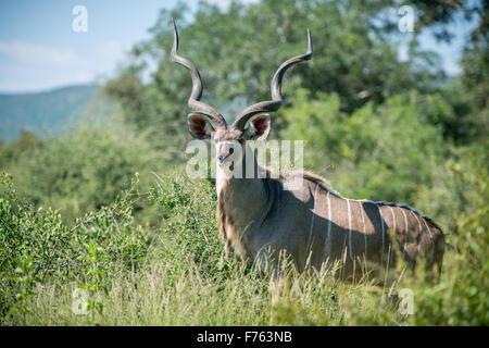 SOUTH AFRICA- Kruger National Park  Adult Male Kudu (Tragelaphus strepsiceros) - Stock Photo