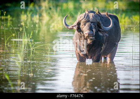 Kruger National Park, South Africa - African buffalo or Cape buffalo (Syncerus caffer) Red-billed oxpecker (Buphagus - Stock Photo