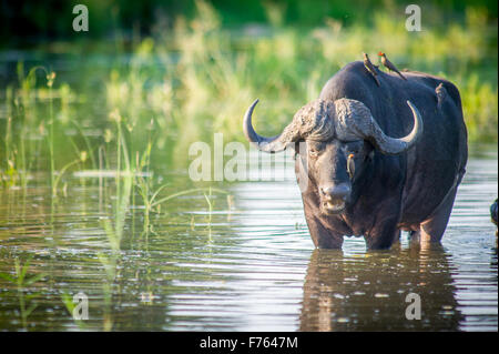 SOUTH AFRICA- Kruger National Park  Cape Buffalo (Syncerus caffer) Red Billed Ox Pecker - Stock Photo
