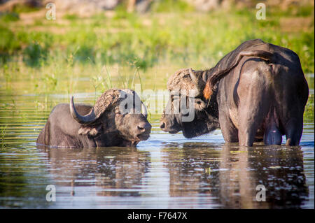 Kruger National Park, South Africa - African buffalo or Cape buffalo (Syncerus caffer) - Stock Photo