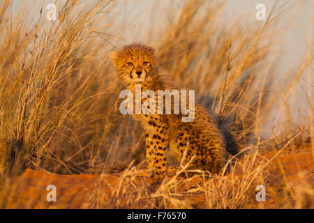 Cheetah cub sitting on a sand dune bathed in sunlight in the Kgalagadi Transfrontier Park - Stock Photo
