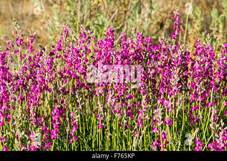 Cluster of vivid magenta / purple flowers & green leaves of Swainsona campylantha, wildflowers growing in outback - Stock Photo