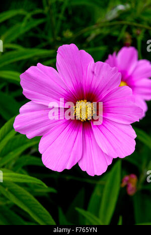 Pink And Purple Coreopsis Flowers Growing In A Garden In