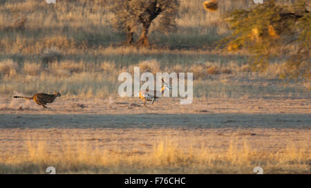 Cheetah chasing after a springbok in the Kgalagadi Transfrontier Park