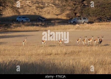 Visitors to the Kgalagadi Transfrontier Park watching a cheetah hunting springbok - Stock Photo