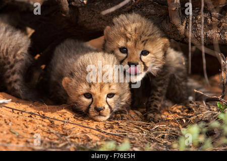 Eye level of cheetah cubs huddled together under a branch in the Kgalagadi Transfrontier Park - Stock Photo