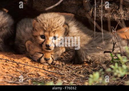Cheetah cub lying on top of its sibling under a branch in the Kgalagadi Transfrontier Park - Stock Photo