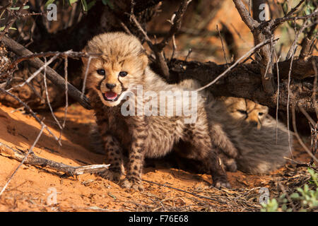 Cheetah cubs close to a tree on a sand dune in the Kgalagadi Transfrontier Park - Stock Photo