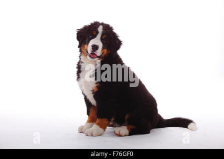 Bernese Mountain Dog, puppy, 3 months|Berner Sennenhund, Welpe, 3 Monate - Stock Photo