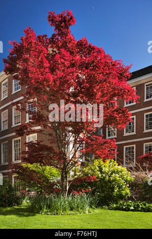 Bright red Japanese Acer in Pump court, Inner Temple. - Stock Photo