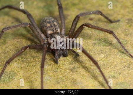 Giant European house spider, cobweb spider, female, Hauswinkelspinne, Haus-Winkelspinne, Hausspinne, Weibchen, Tegenaria - Stock Photo