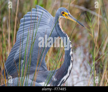 A tricolored heron showing his dominance toward another bird. - Stock Photo
