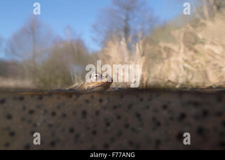Common Toad / Erdkröte ( Bufo bufo ) sitting on frogspawn, floats on water surface, with natural habitat around, - Stock Photo