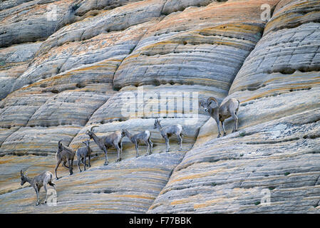 Bighorn Sheep on Checkerboard Mesa. Zion National Park, UT - Stock Photo