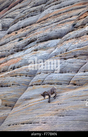 One Bighorn Sheep Ram on Checkerboard Mesa. Zion National Park, UT - Stock Photo
