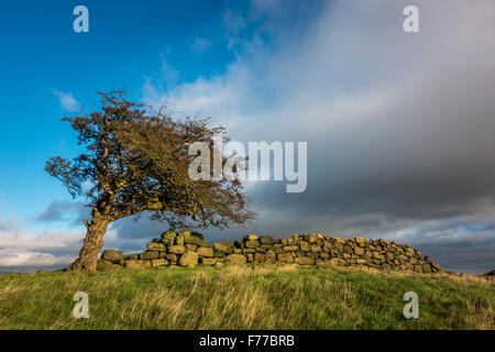 Dramatic gnarled hawthorn tree and an old gritstone stone wall catching the winter sunlight, Yorkshire, UK - Stock Photo