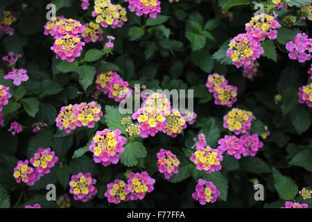Flowers, leaves and buds of Lantana camara - Verbenaceae family - Stock Photo